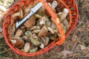 panier récolte champignons